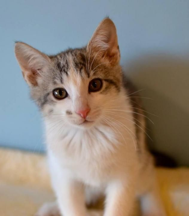Adopt Liesl On Pet Adoption Happy Tails Short Hair Cats