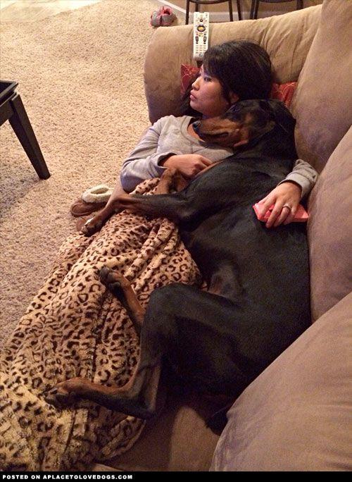 Resultado de imagen para doberman cuddle