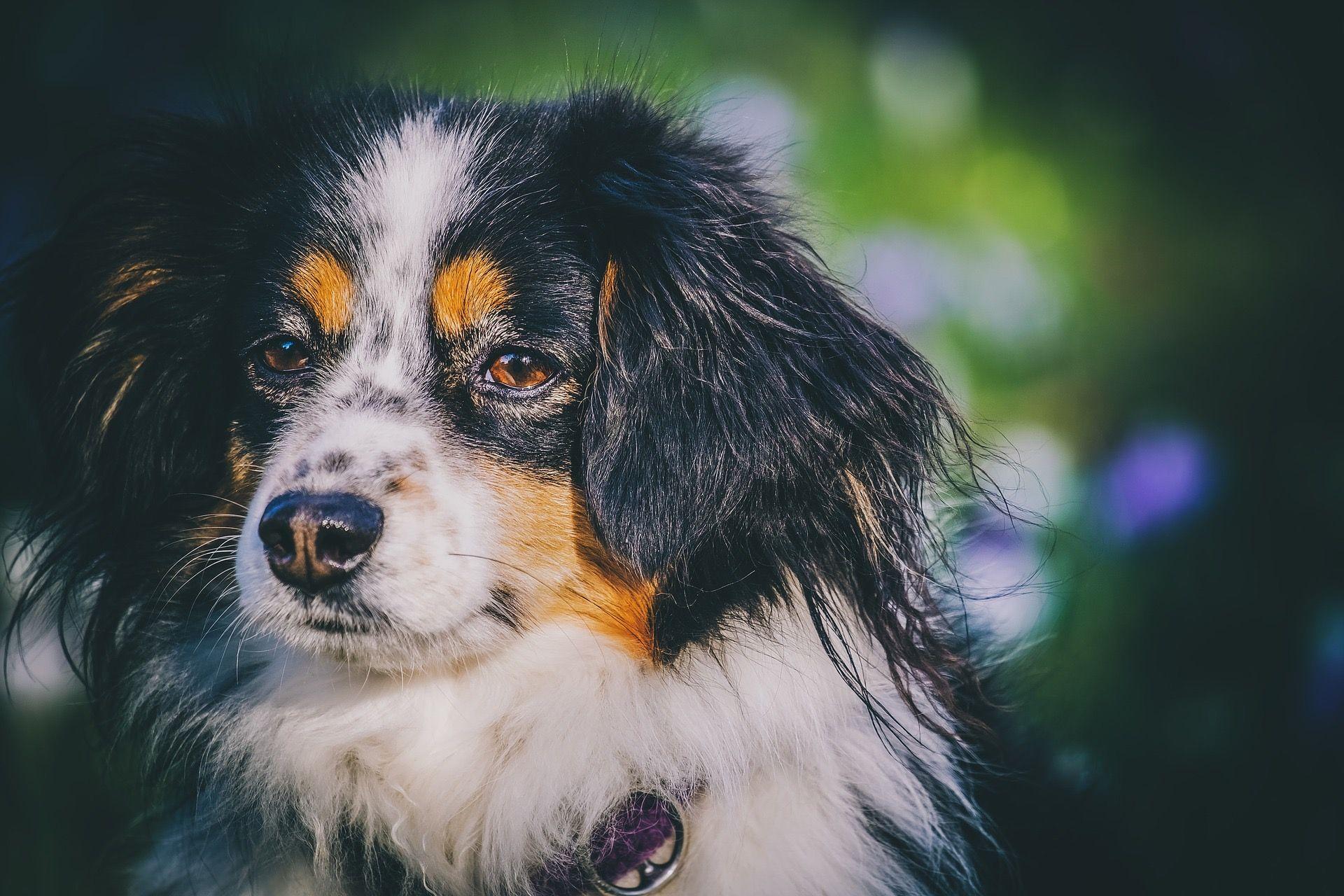 Australian shepherds in 2020 Pets dogs breeds, Dog