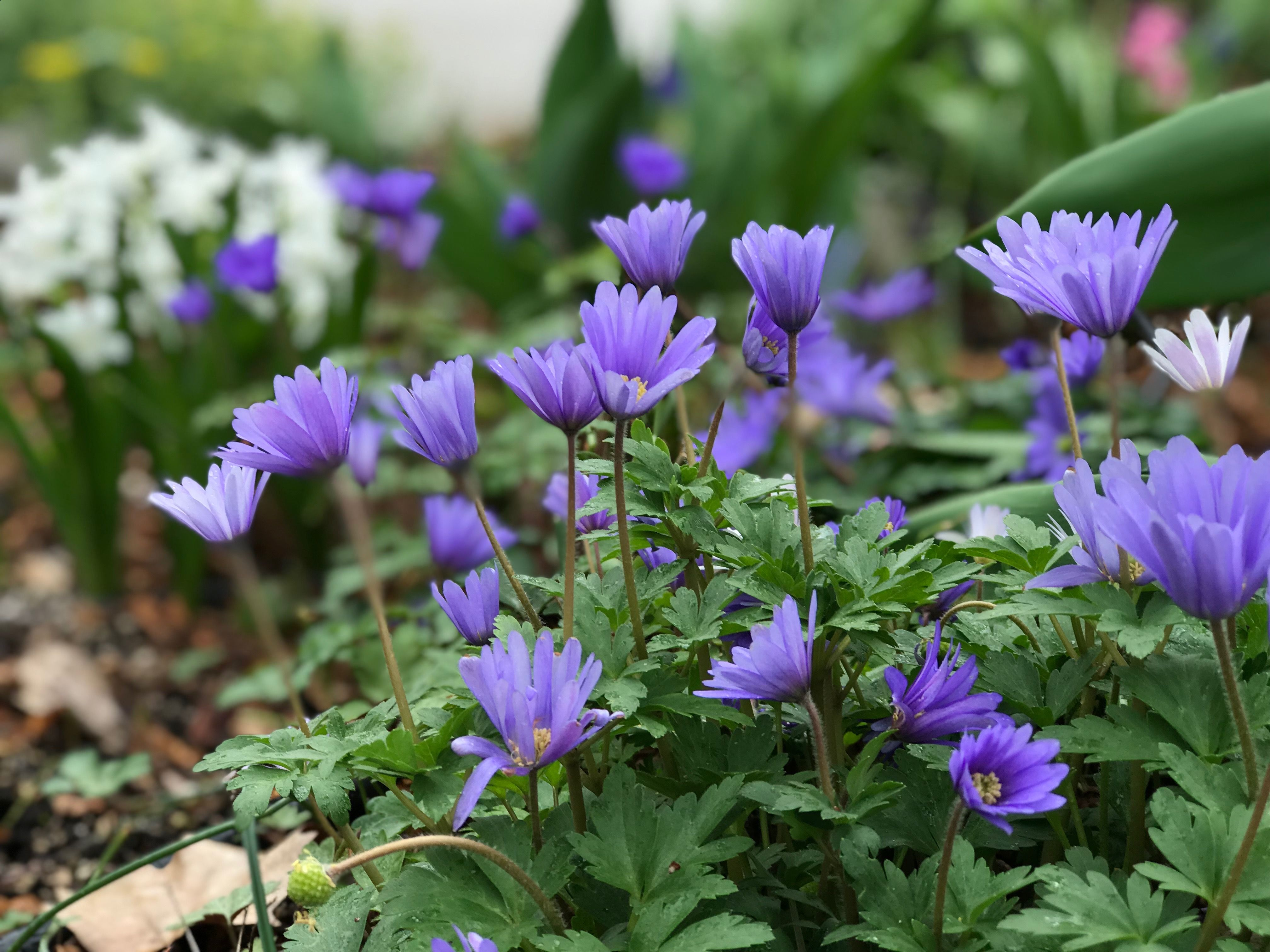 Grecian Windflower Anemone Blanda These Start Blooming In March And By Mid April Are In Full Knock Out Mode I Love These Because They Bloom Anemone Grapes