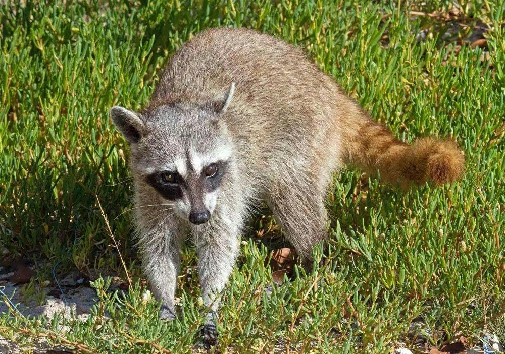 Pygmy Or Cozumel Raccoon Procyon Pygmaeus Critically Endangered Species Animal Photo Animals
