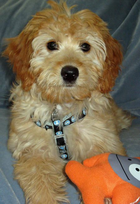 Golden Retriever Labrador Mix Goldendoodle Doodle Puppy Mixed