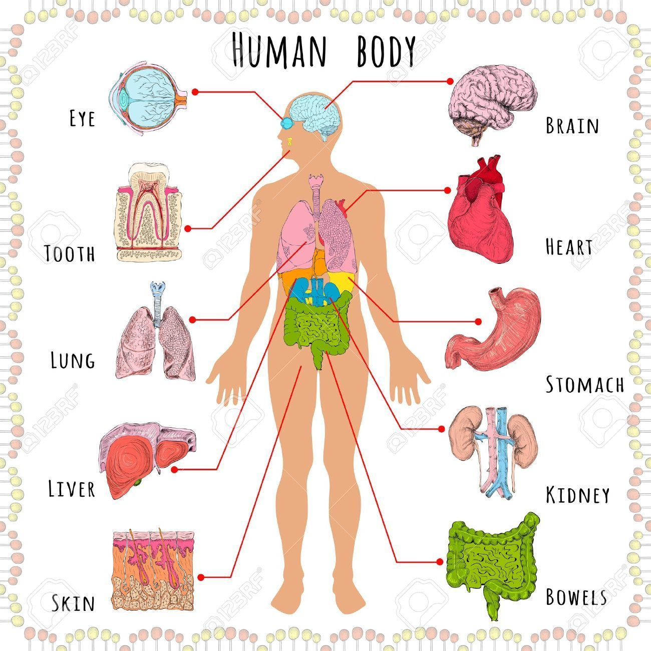 Image Result For Internal Organ Internal Organ Pinterest
