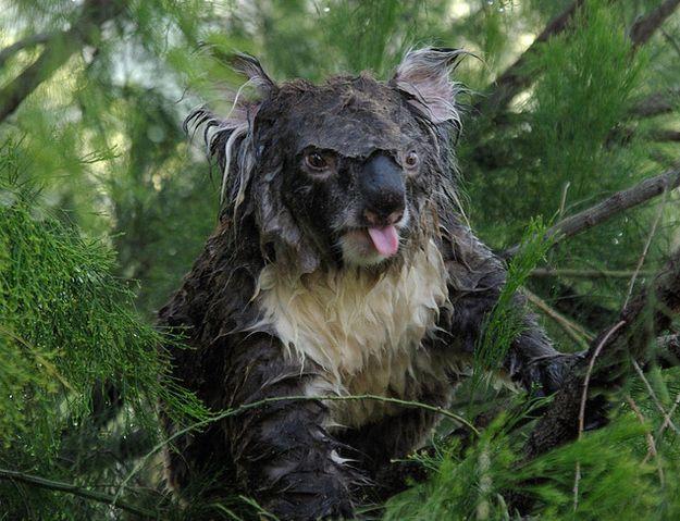 This Is What A Wet Koala Looks Like Koala Animals Koala Bear