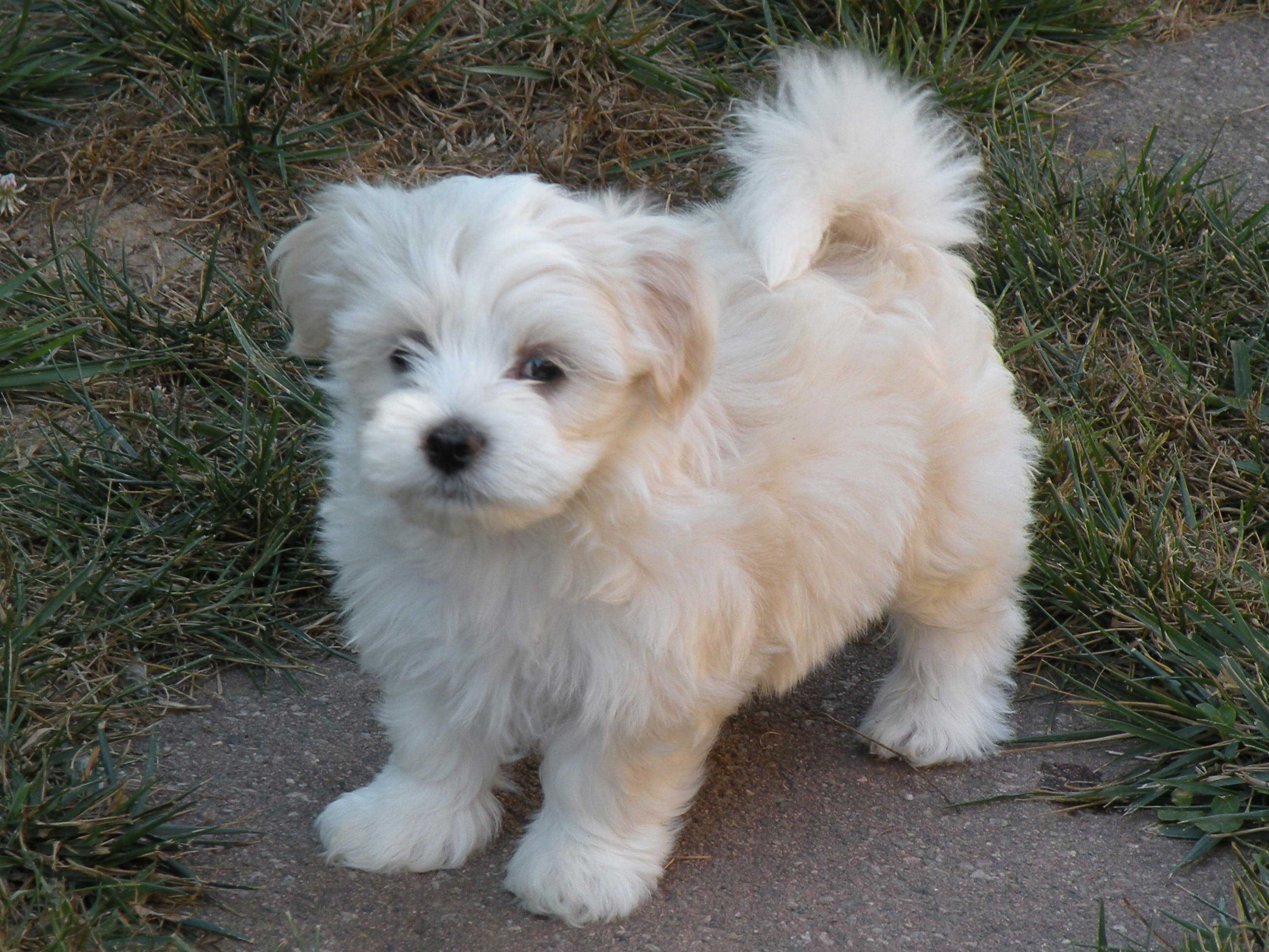 Havanese puppies pictures Google Search Havanese