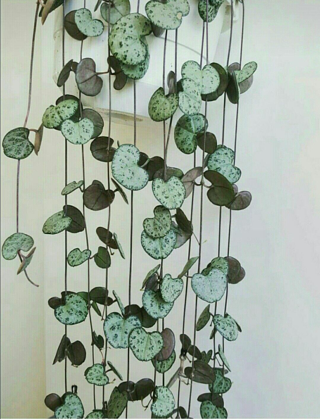 String of Hearts? Ceropegia woodii? #easyhouseplants