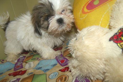 Shih Tzu Puppy For Sale In Paterson Nj Adn 49202 On Puppyfinder Com Gender Male Age 8 Weeks Old Shih Tzu Puppy Puppies For Sale Shih Tzu