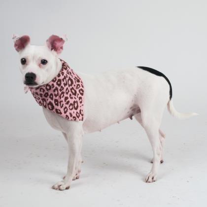 Dogs Retriever Puppy Adoption Retriever