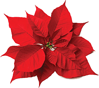 Christmas Flowers.Christmas Flowers Poinsettia And Rose Favorite Christmas