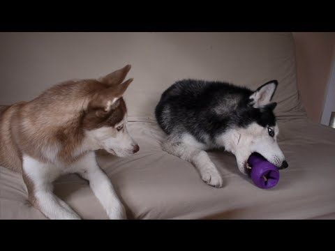 Watch These Two Huskies Argue Over Who Owns The Toy Funny Dog