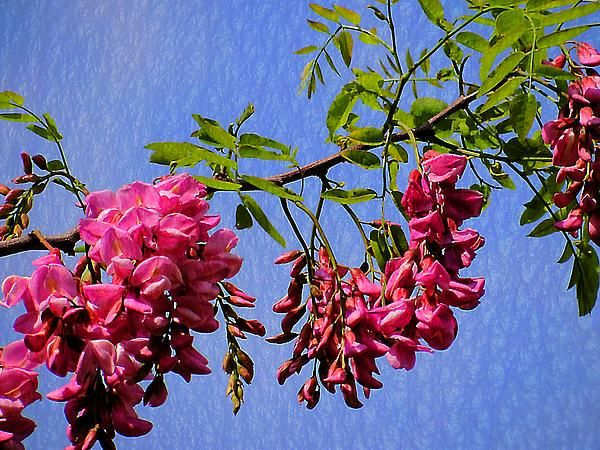 Pretty pink locust tree blossoms with texture added grandmas pink locust blossoms by beth akerman mightylinksfo
