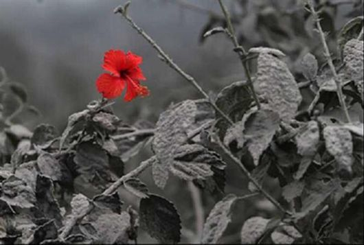 A lone Hibiscus blossoming after a volcanic eruption.