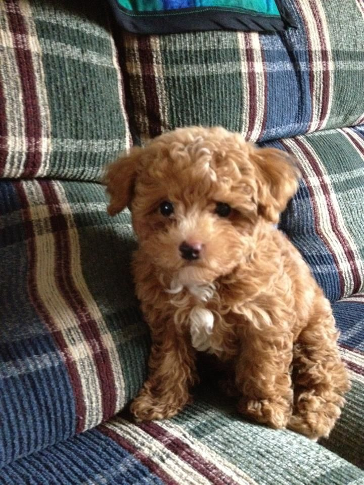 This Is My Dog Cider Male Toy Poodle 4 Month Old Cute Animals