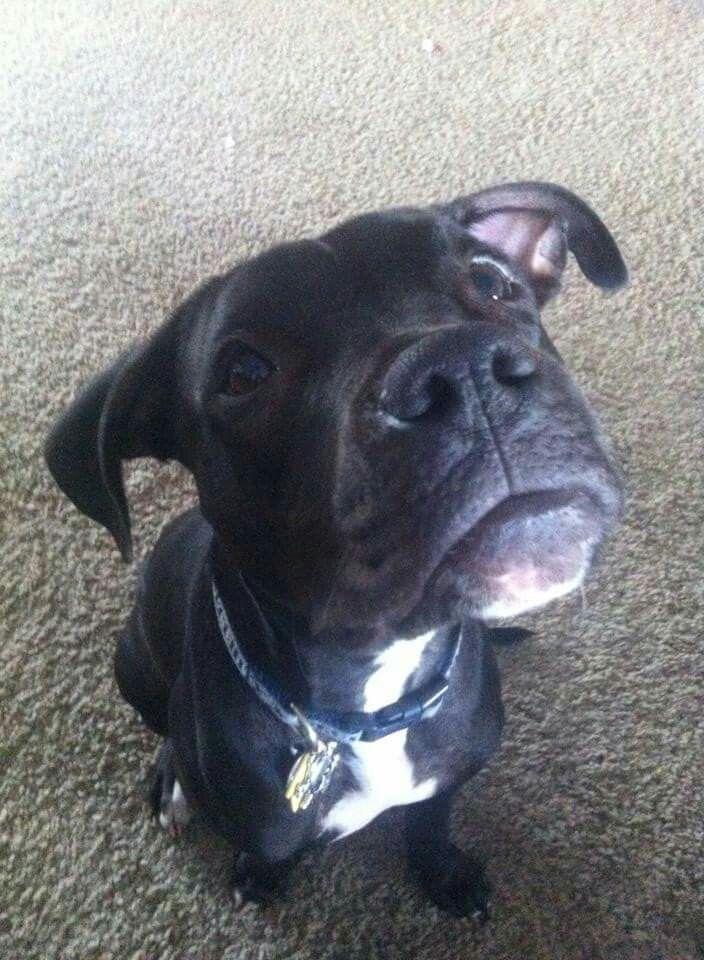 Pin By Loraine Kroeze On Duke Duke Boston Terrier Terrier
