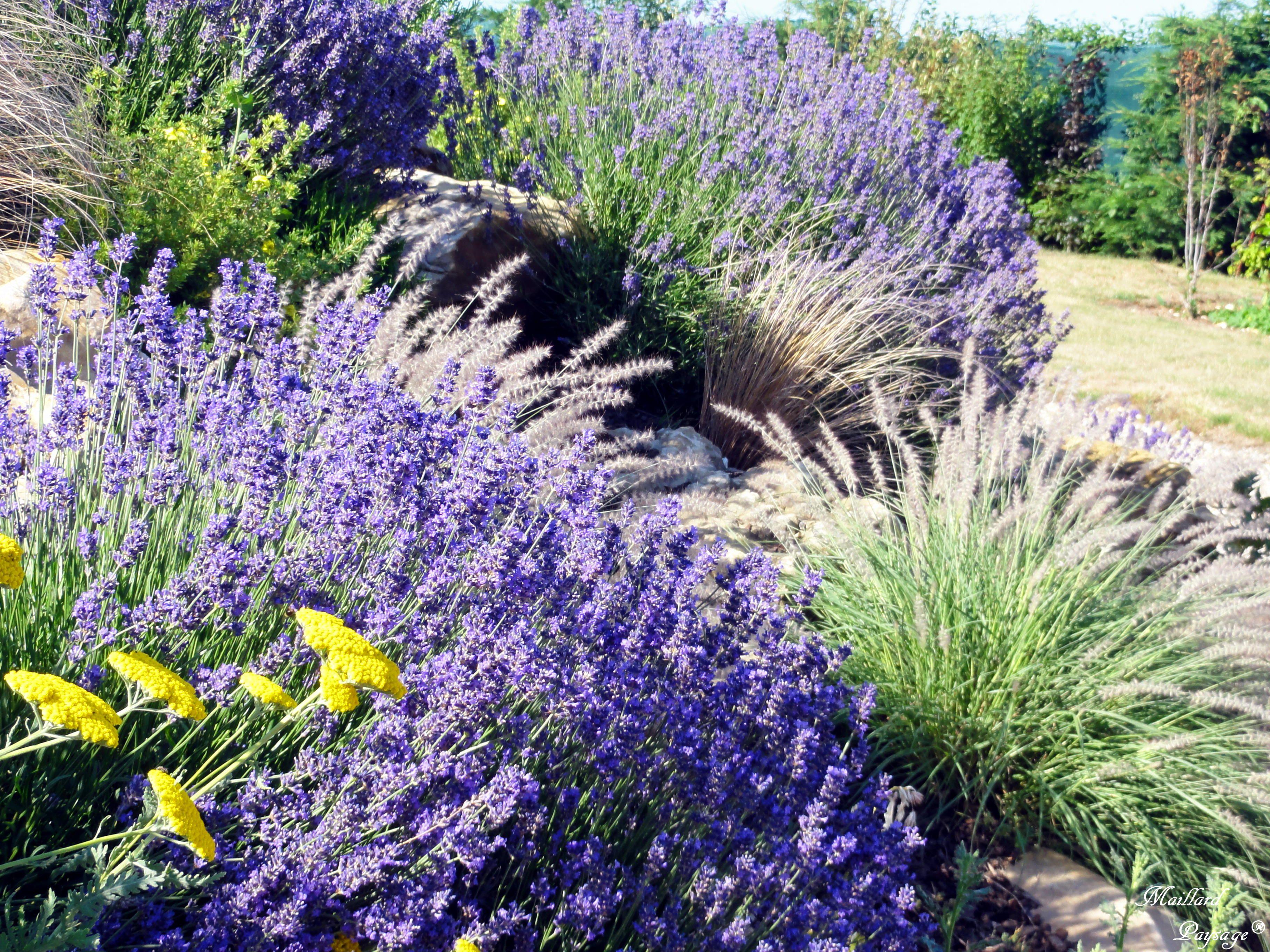 pennisetum karley rose et lavande jardin d 39 exposition maillard paysage 60 massifs pinterest. Black Bedroom Furniture Sets. Home Design Ideas