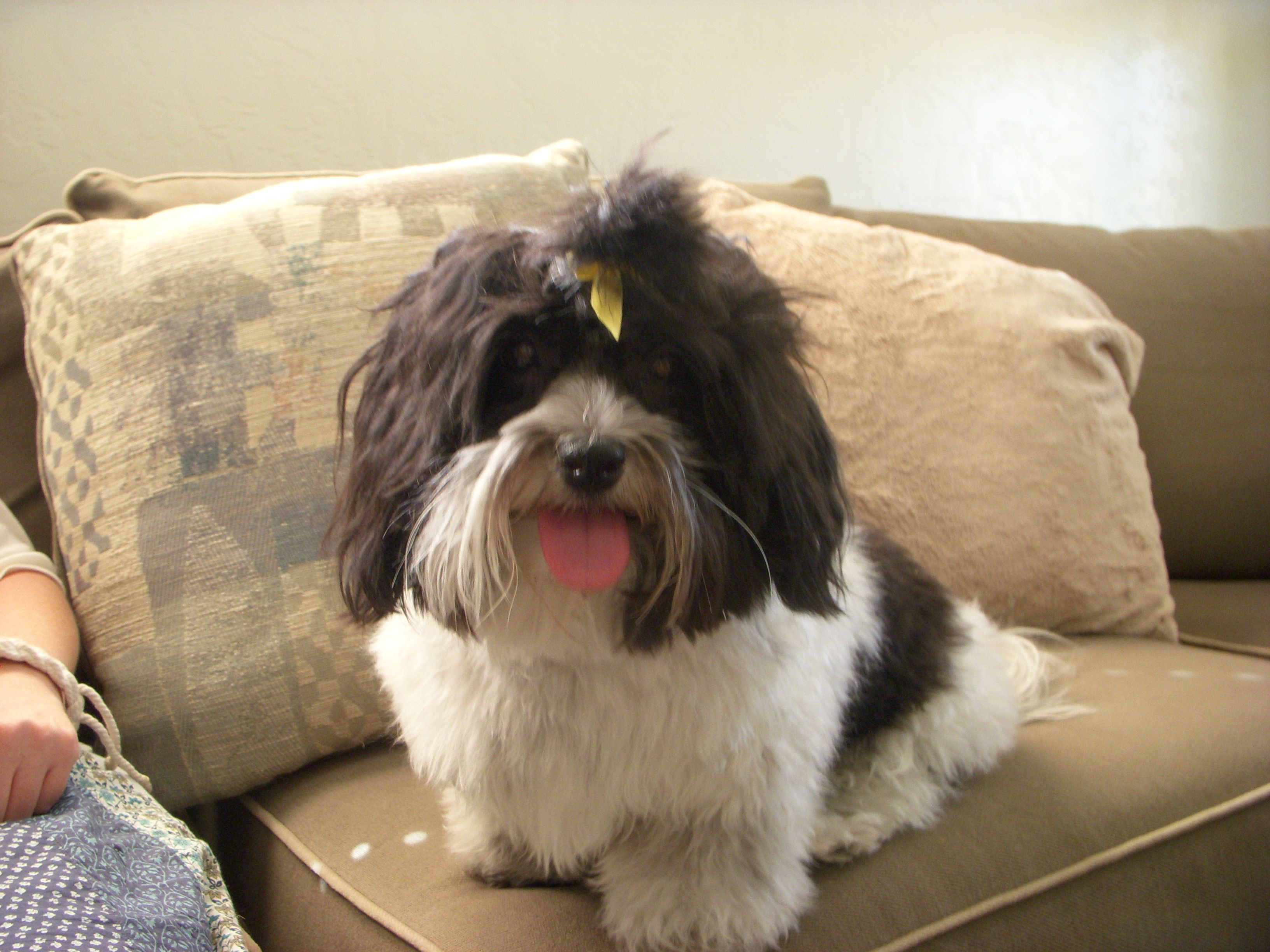 Silly Lilly Animals, Havanese, Dogs