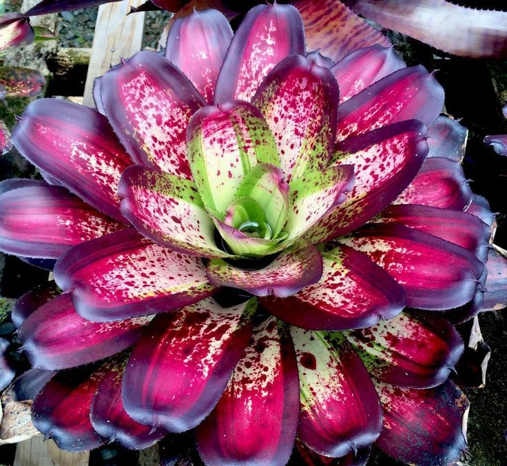 Yummy Bromeliads on Pinterest Australia, Florida Flowers