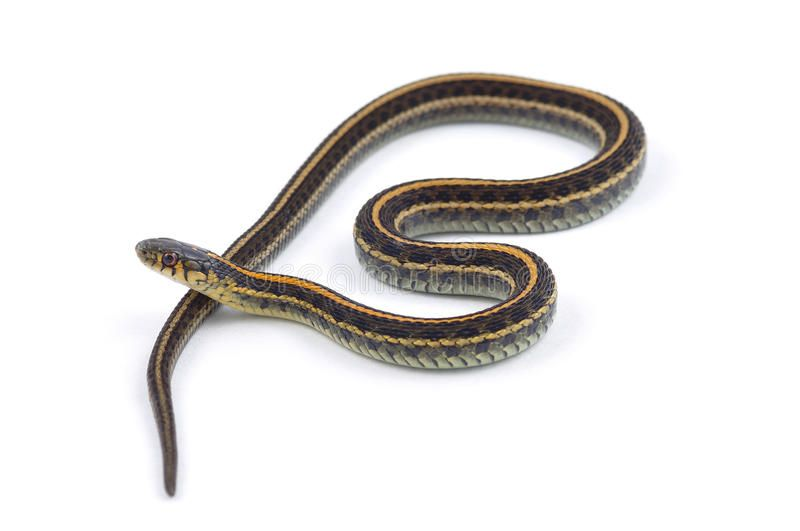 Plains Garter Snake Isolated On A White Background Affiliate