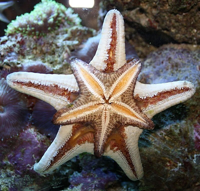 Which Of The Following Is A Unique Feature Of Echinoderms