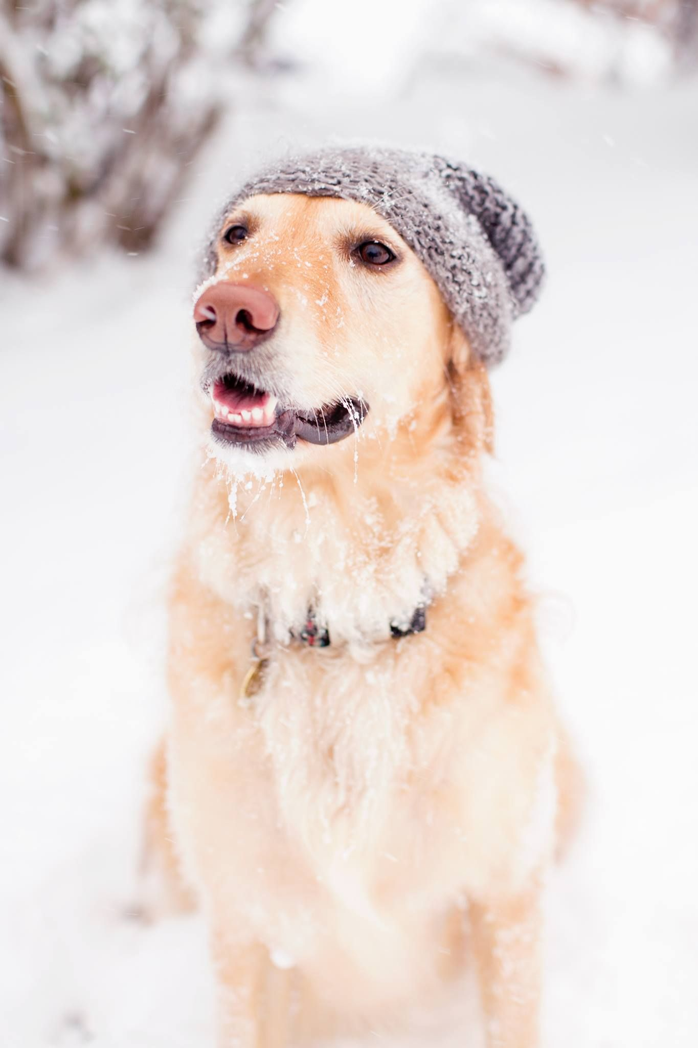 Golden Retriever With Beanie In The Snow National Puppy Day