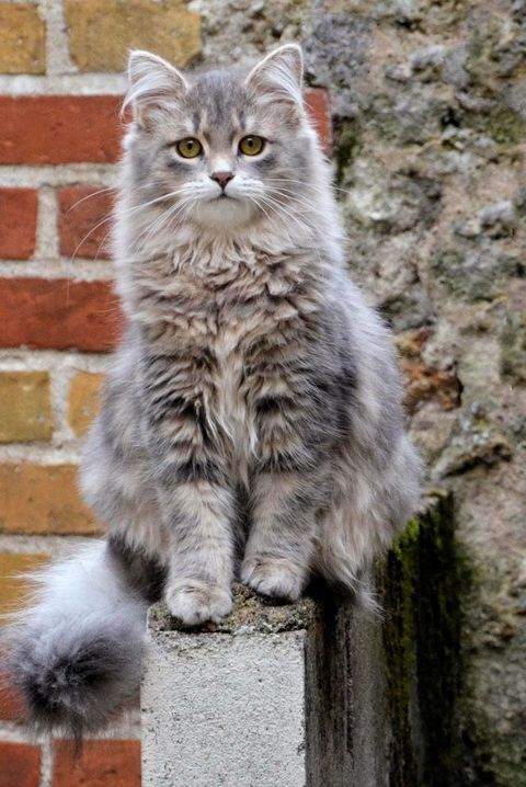 A List of the Most Beautiful Large Cat Breeds #catbreeds