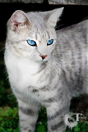 Loner Cats Grey Tabby Cats White Tabby Cat Cats