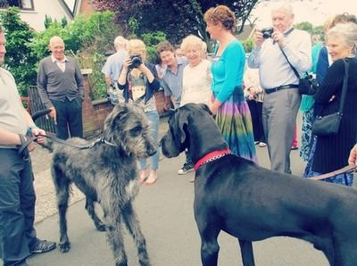 Irish Wolfhound Great Dane Meet With Images Irish Wolfhound