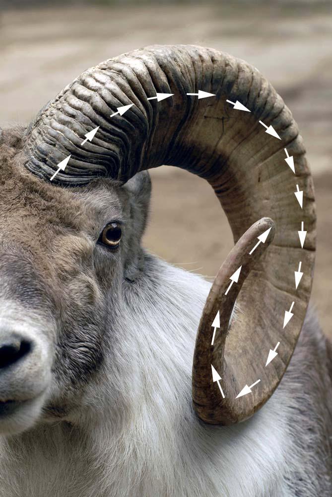 Argali Goat Horns Stuttgart Zoo Alpine Ibex