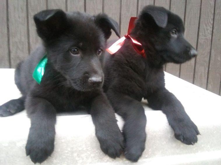 Ddr Black German Shepherd Puppies For Sale In Texas Black German Shepherd Puppies German Shepherd Puppies Shepherd Puppies