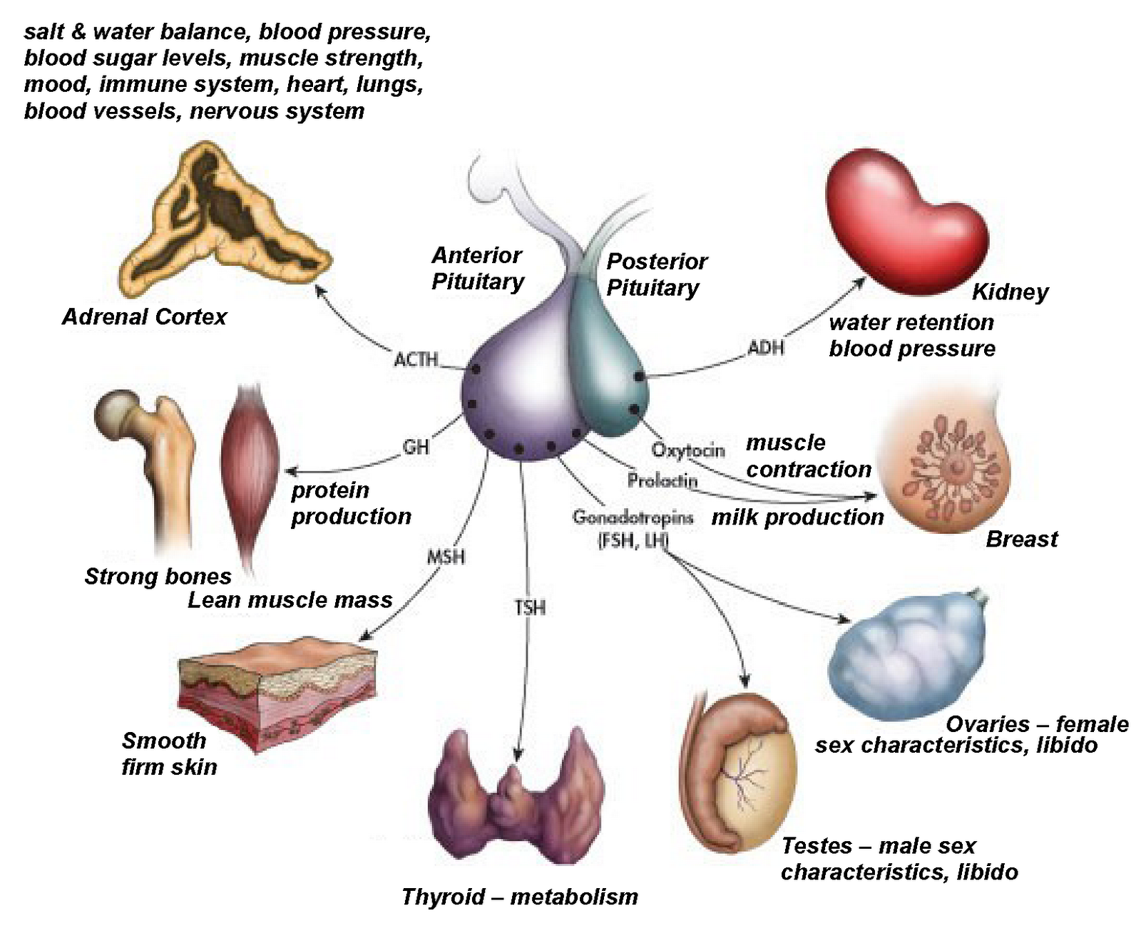 Endocrine System In Humans
