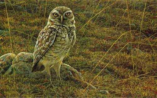 "Burrowing Owl"""" by Robert Bateman"