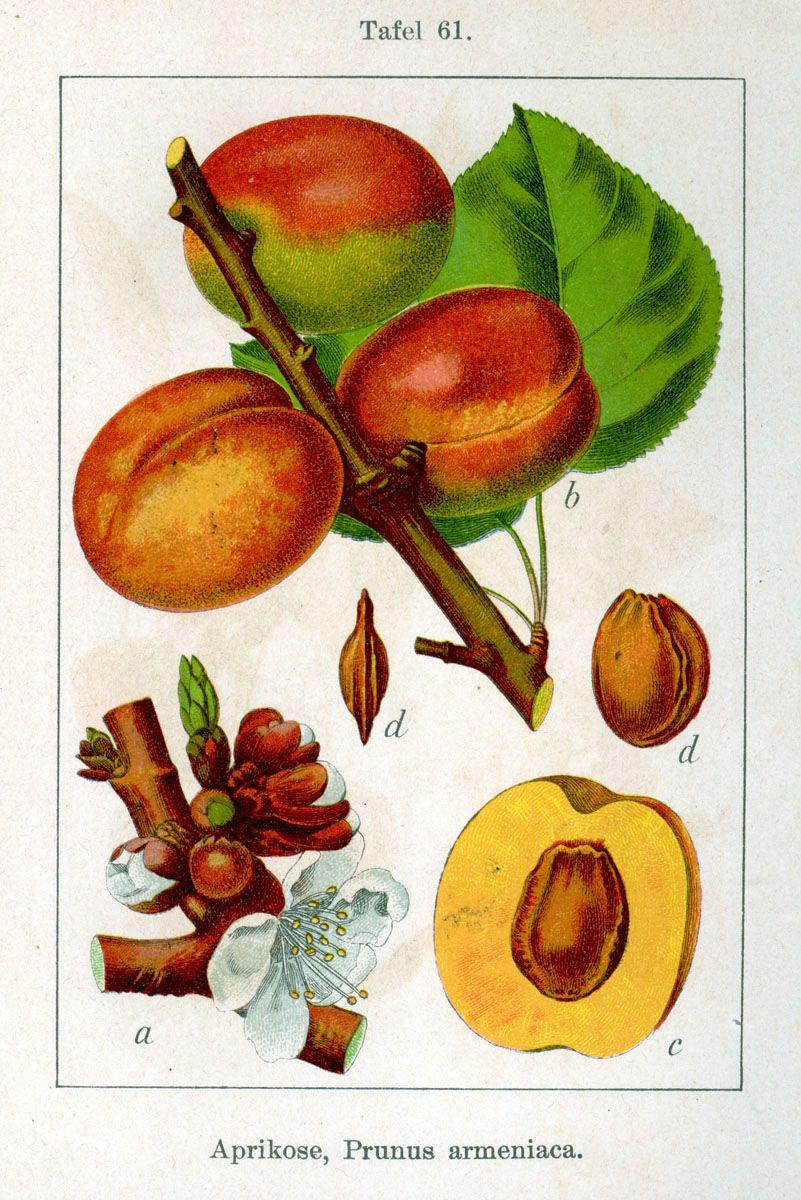 Morela zwyczajna (Prunus armeniaca)