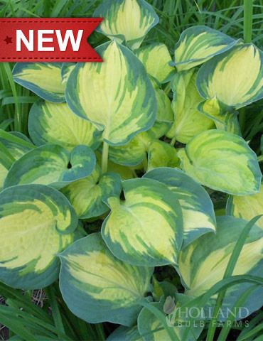 Beach Boy Hosta- new variety, developed in Holland, add colour and texture to shade thick leaves with golden yellow centers that stand out against the blue-green border. -a sport of Dream Weaver Hosta, similar to Great Expectations Hosta, more vigorous grower and has a thicker leaf than Great Expectations Hosta. Thicker leaves make it much more slug resistant. Hostas, best grown in consistently moist soil and part to full shade.