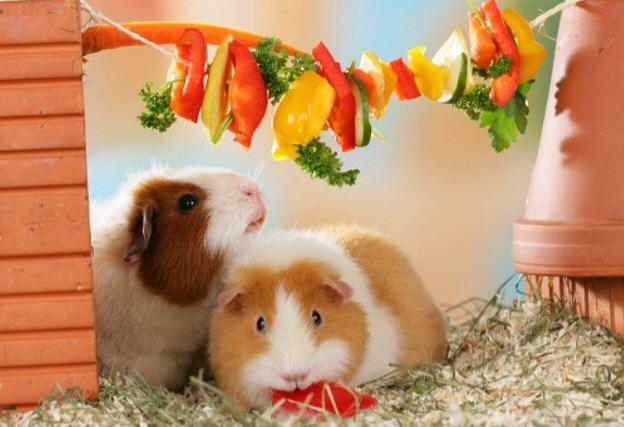 Meerschweinchen futterkette little critters bunnies