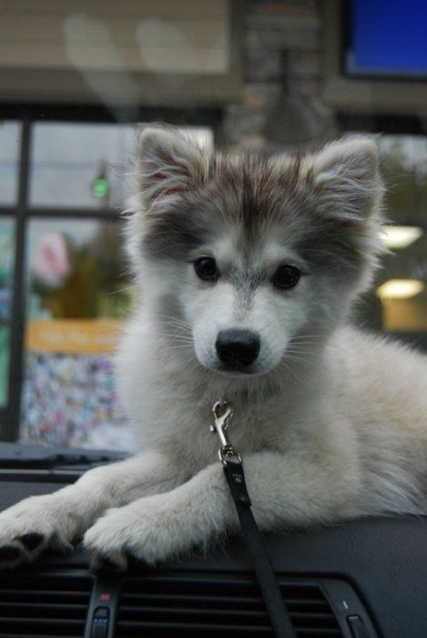 Alaskan Klee Kai or mini husky. I'm a big dogs lover as well as a Shepard Husky lover but I don't think my man likes big dogs. So I think this dog is the perfect compromise (a little dog that looks like one of my favorite big dogs)!