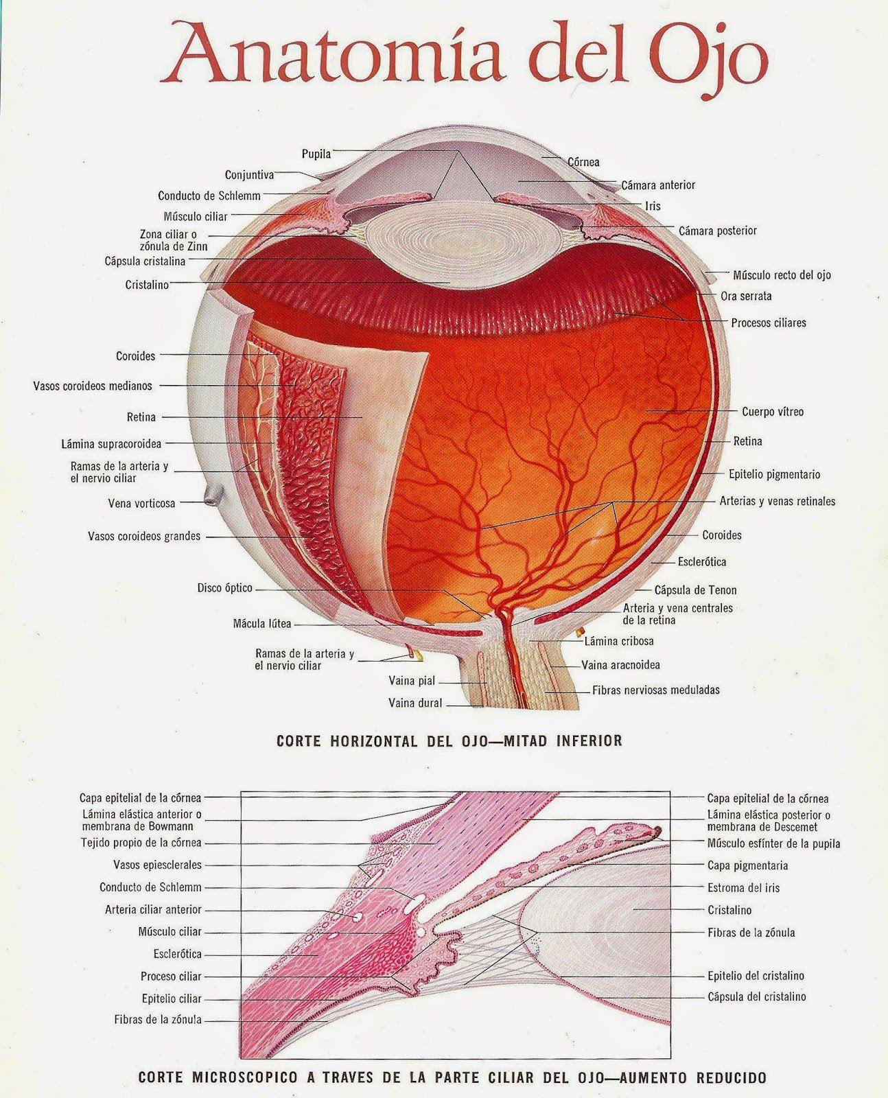 anatomia+del+ojo+001.jpg (1294×1600) | Visual Health | Pinterest ...