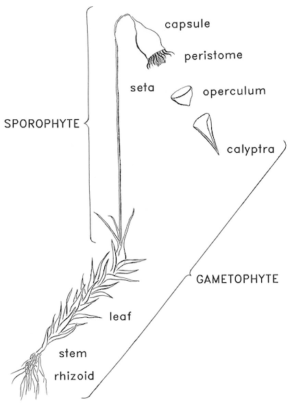Moss Diagram With Parts Labeled