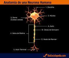 Neurona humana