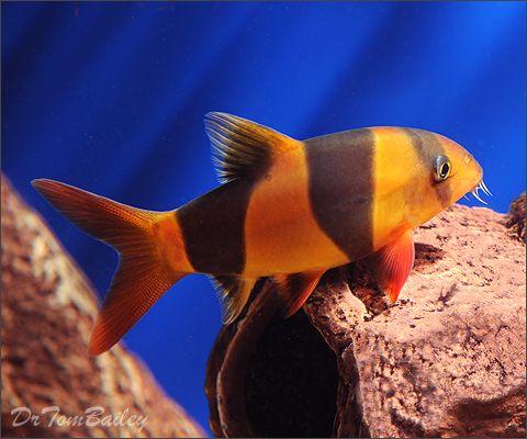 Buy Clown Loaches At Aquariumfish Net Where You Can Shop Online For A Loach Is Fun Pet Fish Tropical Fish Store Tropical Tanks