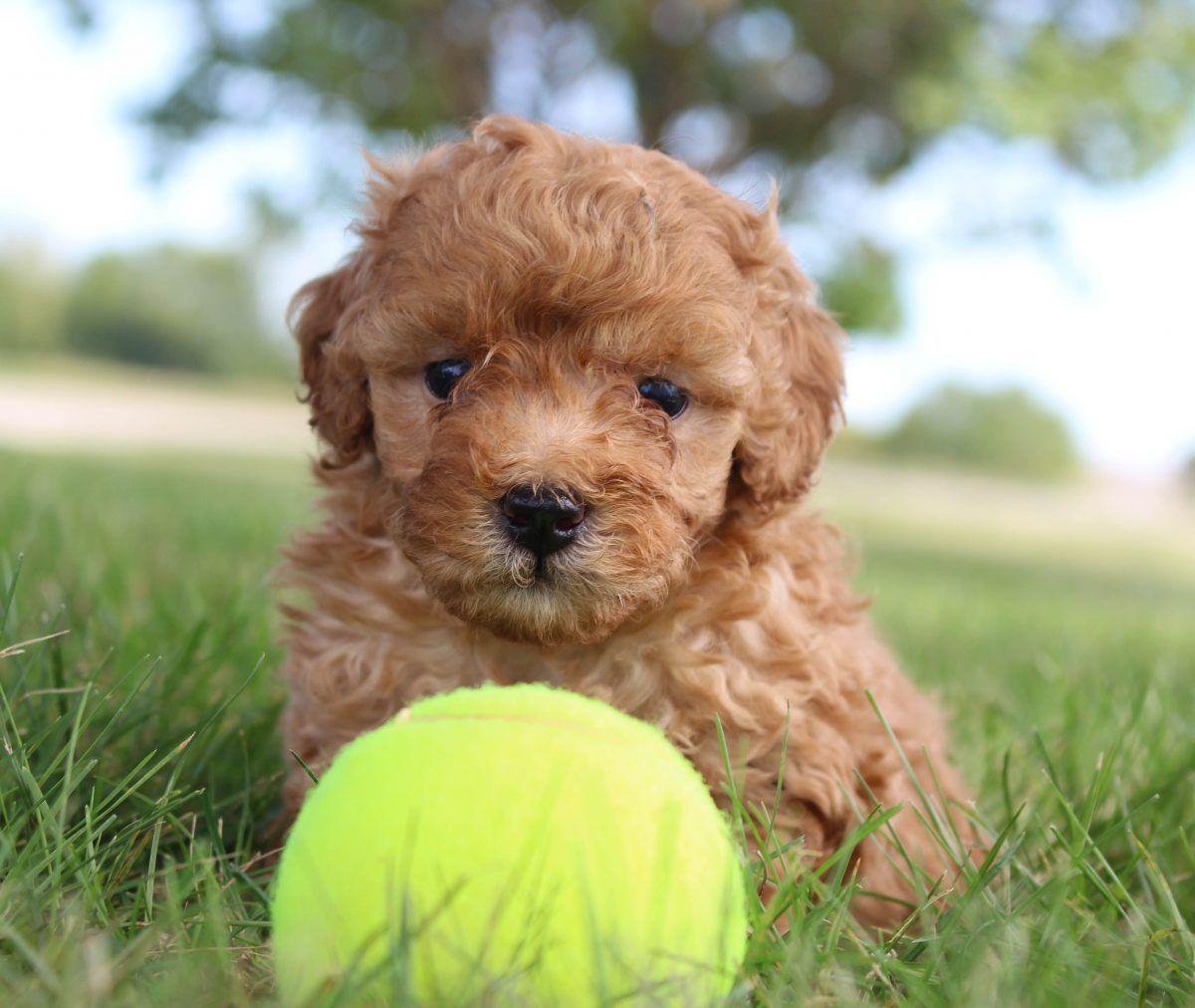 Parr Puppy Miniature Poodles For Sale In Shipshewana Indiana Poodle Puppy Miniature Poodle Puppy Mini Puppies