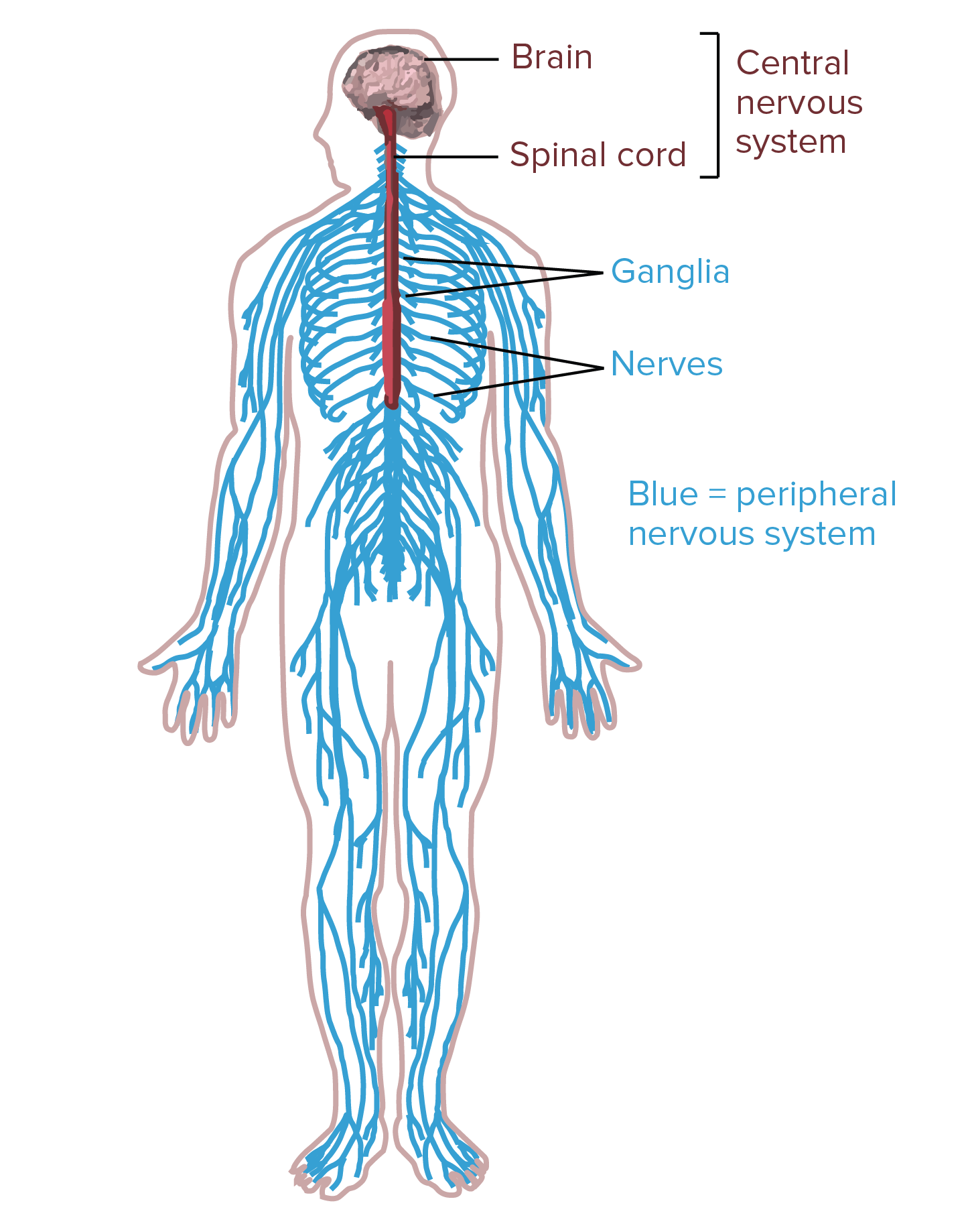 Neuralink And The Brain S Magical Future Wait But Why Neuron Structure Neuron Structure And Function Nervous System Diagram