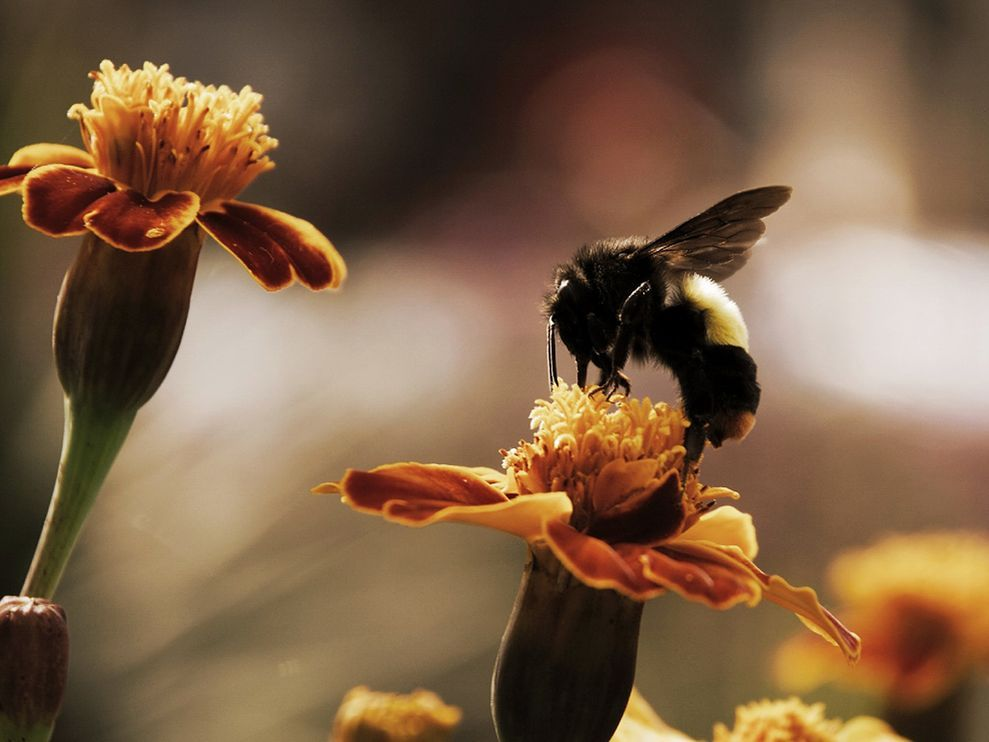 Bumblebee Photo Animal Wallpaper National Geographic Photo Of The Day Bee Pictures Bumble Bee Animal Wallpaper