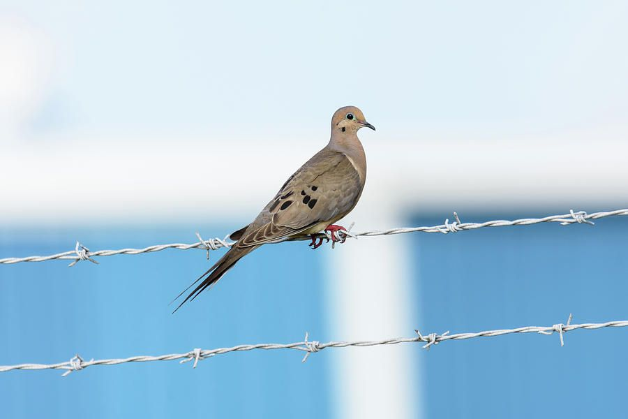 Mourning Dove On The Wire Photograph by Debra Martz | Group - Bird ...