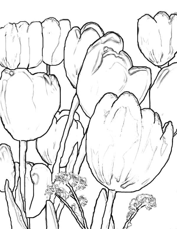 A Scenic Fringed Tulips Farm in Holland Coloring Page