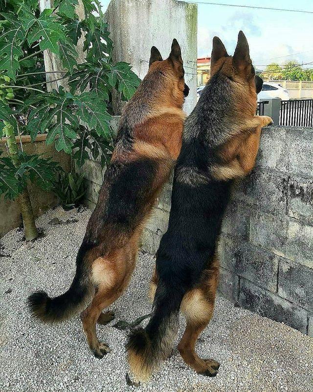 Photo of #als #besser #einer #germanshepherd #dogs german shepherd Two bodyguards are …