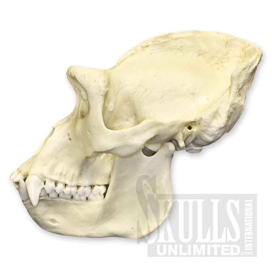 gorilla skull - Google Search | Gorilla Anatomy and Reference ...