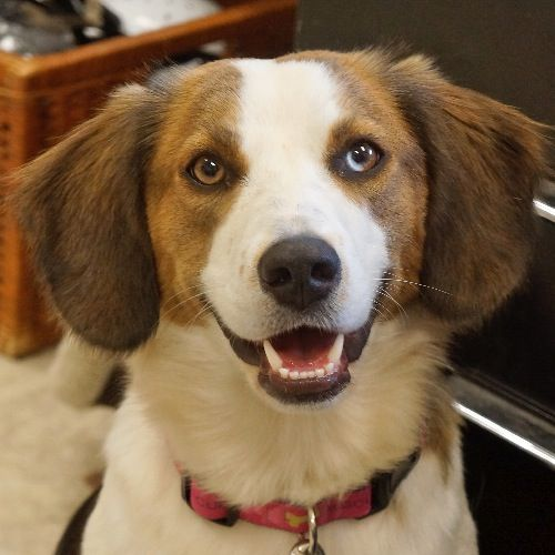 Moon Is A 10 Month Old June Female Beagle Aussie Mix She Came