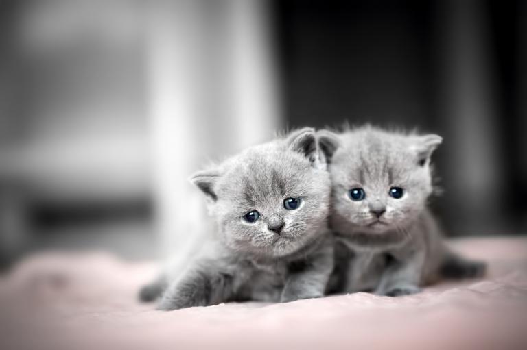 Britisch Kurzhaar Baby Katzen Britisch Kurzhaar Und Katzen