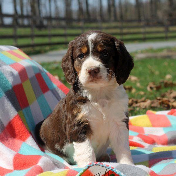 Goldie English Springer Spaniel Puppy For Sale in