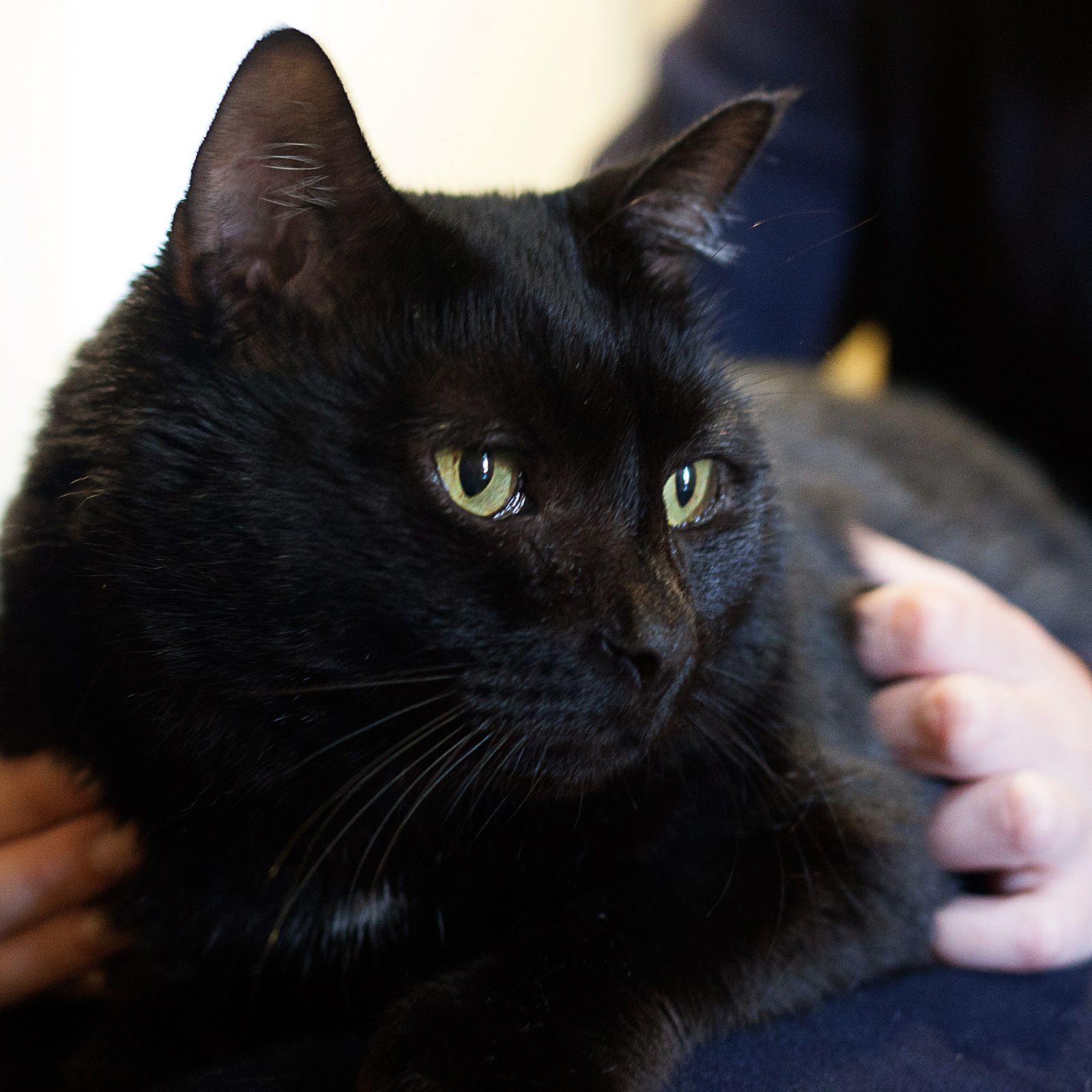 ADOPTED Cole Jet Age 10 years old male Breed DSH Gray